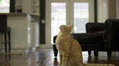 Orange Striped Cat Jumps Up Stock Footage