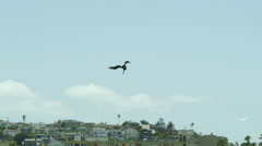 Pelican Bird Flying in Sky and Dives Down - stock footage