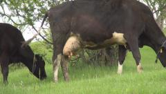 Cow feeding on field with green grass. Farm land Stock Footage