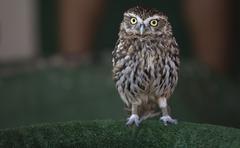 Mochuelo,  little owl , athene noctua Stock Photos