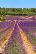 landscape with lavender - stock photo
