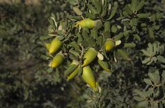 holm acorn - stock photo