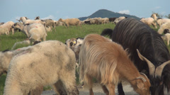 Background with beautiful group of sheep. Herding Sheep on farm meadow Stock Footage
