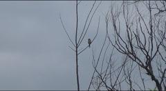 on a bush shrike - stock footage
