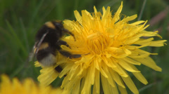Bumble bee collect nectar in yellow flowers, Beautiful close-up fluffy bee - stock footage