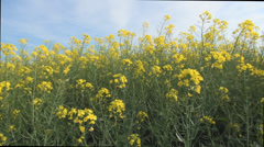 Farmland with rape flowers in agriculture field, countryside view in summer Stock Footage