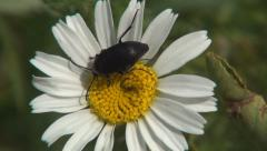 Close up black beetle on wild daisy. Wild flower visited by a small insect. Bug. Stock Footage