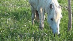 White horse  in farm field, Horse on meadow, Agriculture Stock Footage