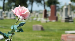 Pink Rose in cemetary - stock footage