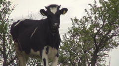 Cow on field, looking at camera. Cow in a farm land. Stock Footage
