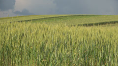 Some ears of wheat swinging in the wind, Agricultural farm, Food industry Stock Footage