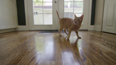 Orange Striped Tabby Cat Jumping at String in 4K Stock Footage