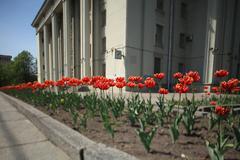 midday tulips - stock photo