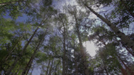 Stock Video Footage of Aspen Trees With Lens Flare - Low Angle