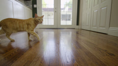Orange Striped Tabby Cat Walking across Floor in 4K Stock Footage