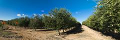 intensive cultivation of olive trees - stock photo