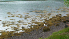 Sea gull standing on a rock on the shore by low tide loch turns head Stock Footage