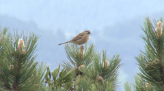 Bird singing on top of the tree in the mountain forest - stock footage