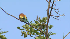 Birds bee-eater hunting insects and butterfles in spring pasture Stock Footage