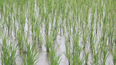Stock Video Footage of rice field sapling in the spring