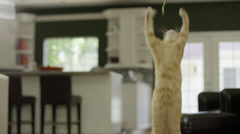 Striped Orange Tabby Cat Jumping at String inside House - stock footage