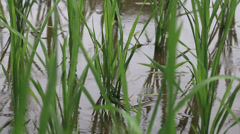 rice field sapling in the spring - stock footage