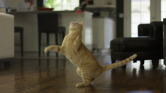 Striped Orange Tabby Cat Jumping at String inside House Stock Footage