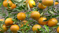 Some tangerine in the tree Stock Footage