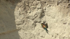 Bee-eaters. Nesting birds in the nest Stock Footage