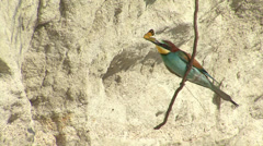Birds Bee-eaters with butterfly in front of the nest Stock Footage
