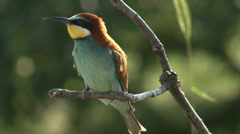 Bee-eaters. Birds hunting insects and butterfles Stock Footage
