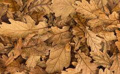 Dry acron leaves Stock Photos