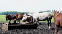 Horses nod their heads in unison (saved from annoying insects). Stock Footage