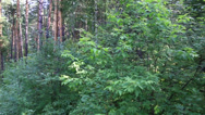 Stock Video Footage of beautiful vegetation on the hillside of mount tserkovka in belokurikha. altai