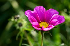 Plant, Asteraceae, cosmos bipinnatus, Pink Flower, close up - stock photo