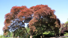 Japanese Maple Tree looking like a big bonsai moving in wind Stock Footage