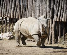 Close up photo of a white rhinoceros and addax Stock Photos