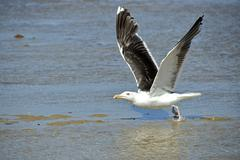 Closeup Great Black-backed Gull in flight - stock photo