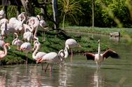 Stock Photo of group of greater flamingos
