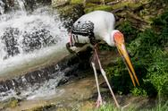Stock Photo of painted stork catch the fish in the water stream
