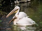 Stock Photo of pair of great white pelican (pelecanus onocrotalus)