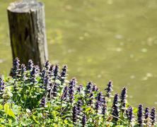 flowering dead nettle grows near the lake - stock photo