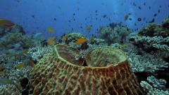 Reef fish swimming around barrel sponge amongst coral reef Stock Footage