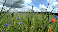 Cornflowers - germany - summer Stock Footage