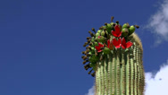 Stock Video Footage of Red Fruit Falls Off Saguaro Cactus