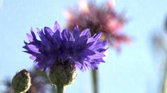 Cornflowers in the Water Particles Stock Footage