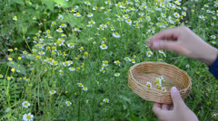 Woman hand pick chamomile herb flower bloom to wicker dish Stock Footage