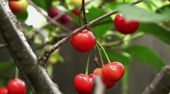 Sour cherry orange color Stock Footage
