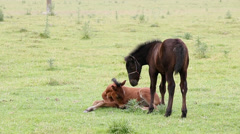 Brown and black foal on field Stock Footage