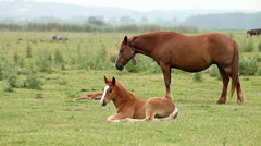 Brown horse and foal on pasture Stock Footage
